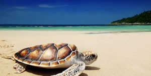 sea-turtle-on-beach-WEB