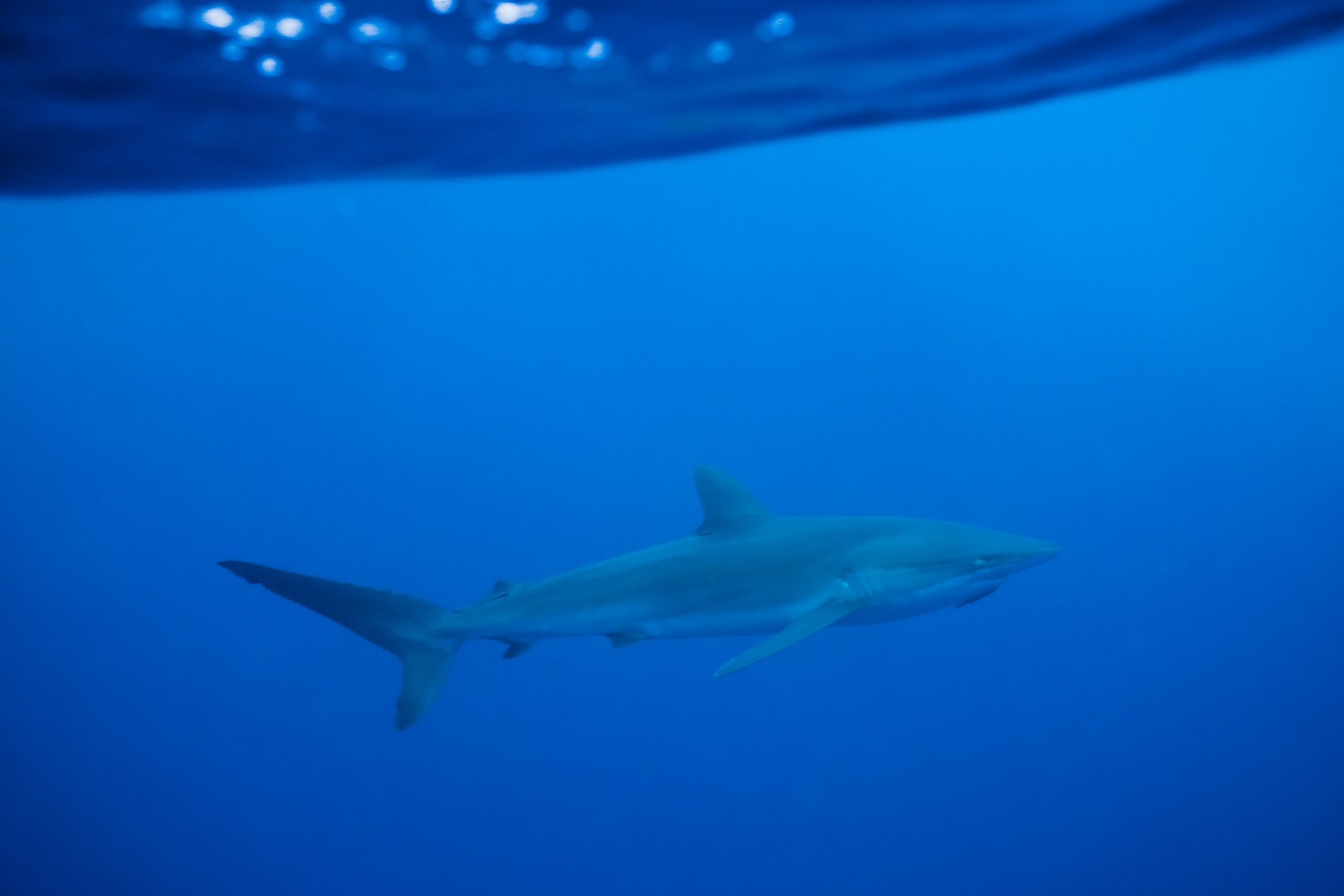 International Shark Conservation Movement Calls on Chile and Peru to Protect Silky Sharks