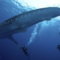 Edwar whale shark photo (c)