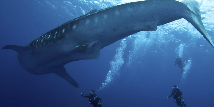 Edwar whale shark photo (c)