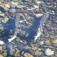 Pair_of_Chinook_salmon