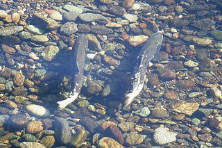 Pair_of_Chinook_salmon