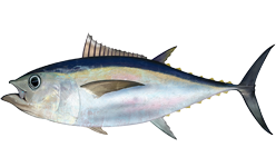 Lawsuit Fights New Rule Doubling Catch Limit for Overfished Bigeye Tuna