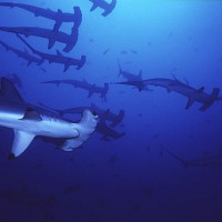 scalloped-hammerhead