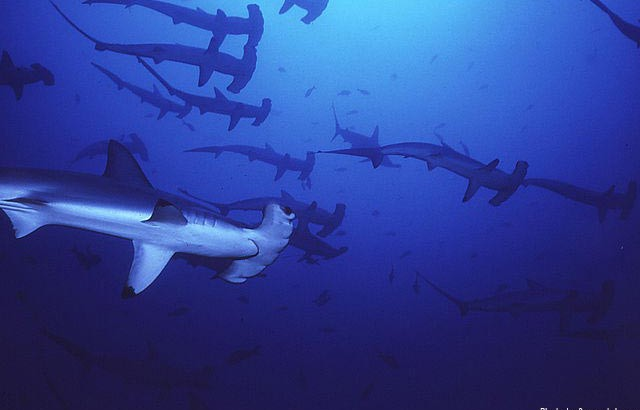 wiki-scalloped-hammerhead-WEB
