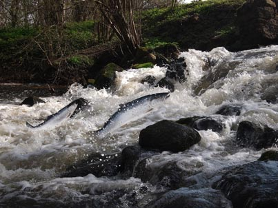 Rescuing Coho Salmon from Redwood Creek