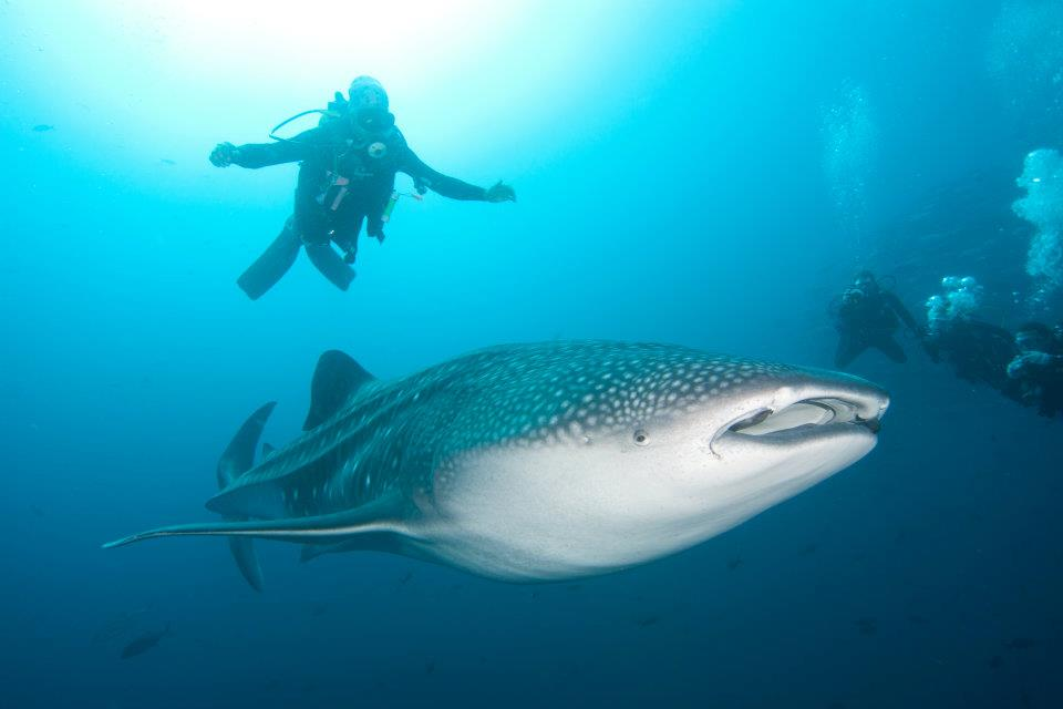 Whale Shark Satellite Tag Recovered