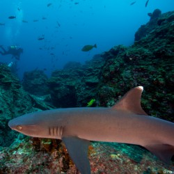 Underwater Photography of Reef Shark by Paul Nguyen.