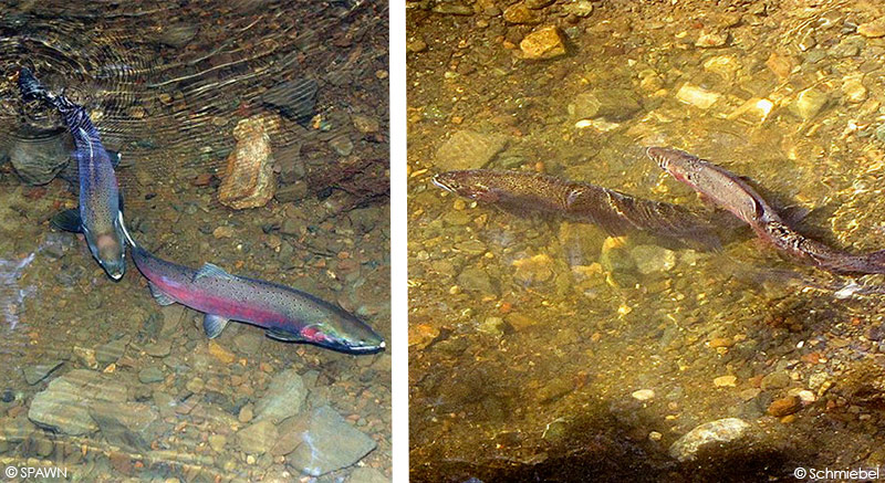 How to Tell a Coho Salmon from a Steelhead Trout