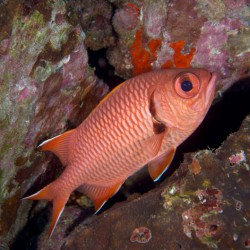 Red fish at Cocos Island. Photo by Paul Nguyen.