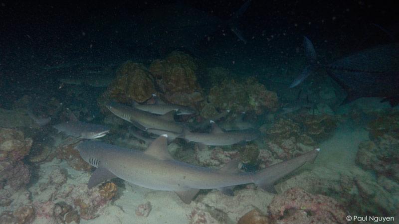 sharks-paul-nguyen