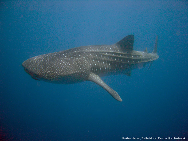 Pregnant Whale Sharks Use Galapagos as Pit Stop