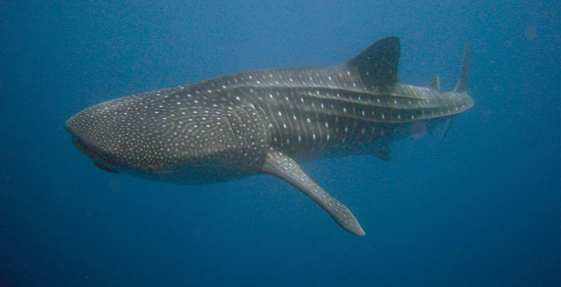 whale-shark-Alex-Hearn-1