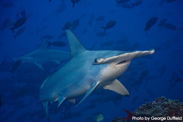 Endangered Hammerhead Shark Fins Exported from Costa Rica, Touch Down Illegally in U.S. en Route to Hong Kong In Violation of ESA