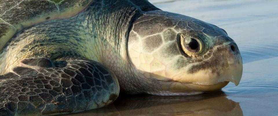 BP Funding Designated to Save Endangered   Kemp's Ridley Sea Turtles