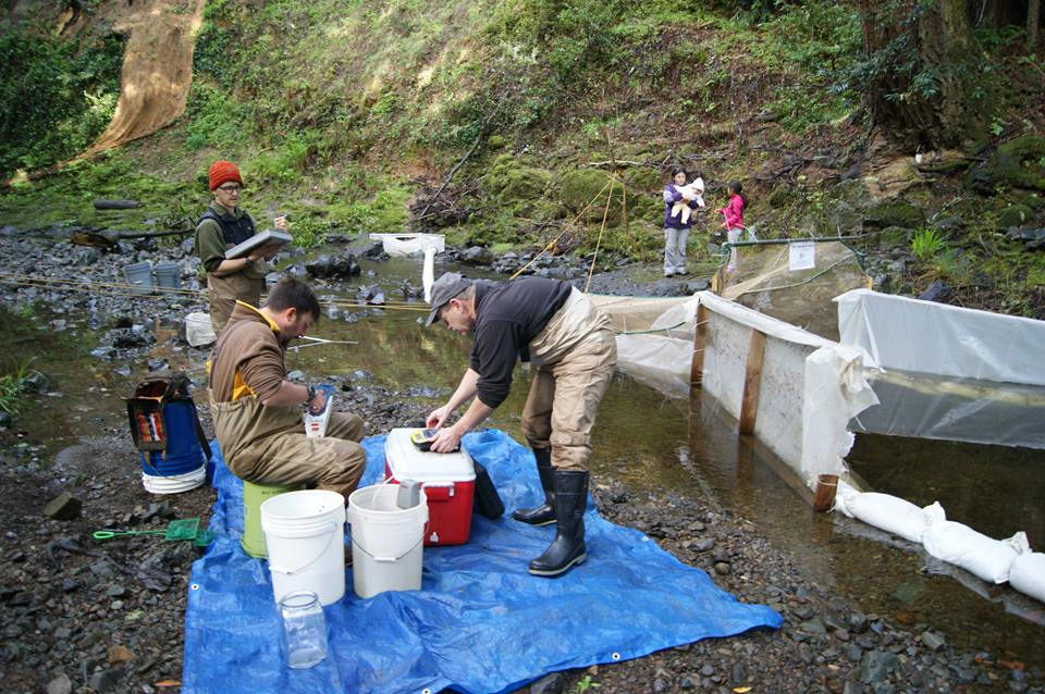 Volunteers counting coho salmon, steelhead trout and Pacific lampreys in the smolt trap located on the San Geronimo Creek.