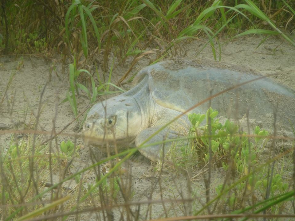Kemp Ridley's Sea Turtle Nesting Season is in Full Swing!
