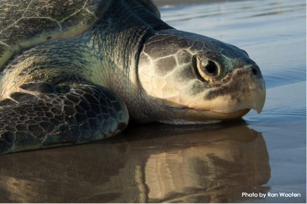 Texas Piers are Helping to Protect Endangered Sea Turtles