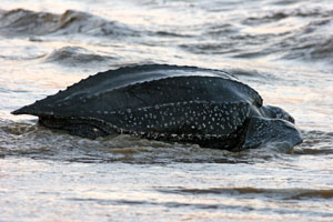 Rare endangered leatherback seen off the Golden Gate
