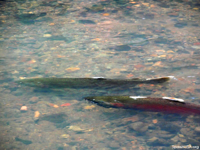 Rains Bring Endangered Coho Salmon to Marin: Now is Prime Viewing Time to Watch Fish Spawn