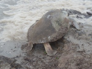 Sea turtle monitors protect the endangered nesters as they crawl across the beach