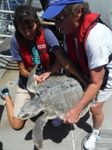TIRN Gulf staff participated in sea turtle handling and release to prepare to be permited by wildlife agencies