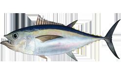 The Tuna Shell Game