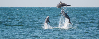 dolphins-jumping-together-gulf-mexico