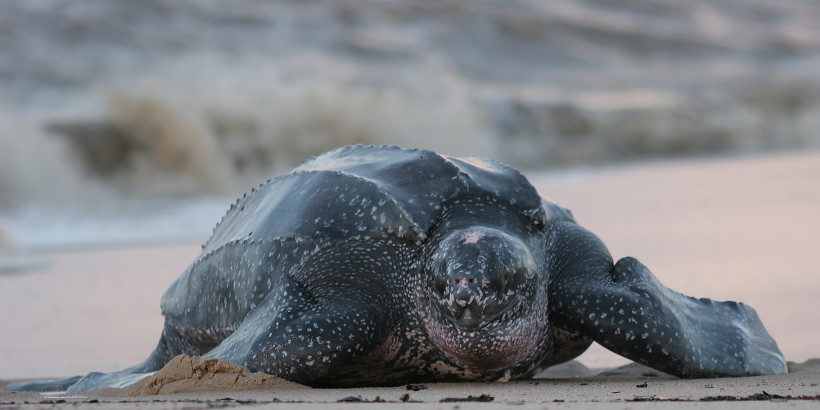 leatherback-coming-on-shore