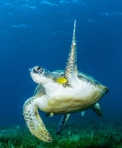 Green-turtle-waving