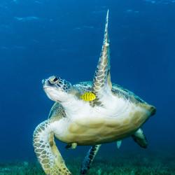 Green-turtle-waving