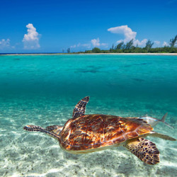 Green-turtle-Caribbean-Sea-web