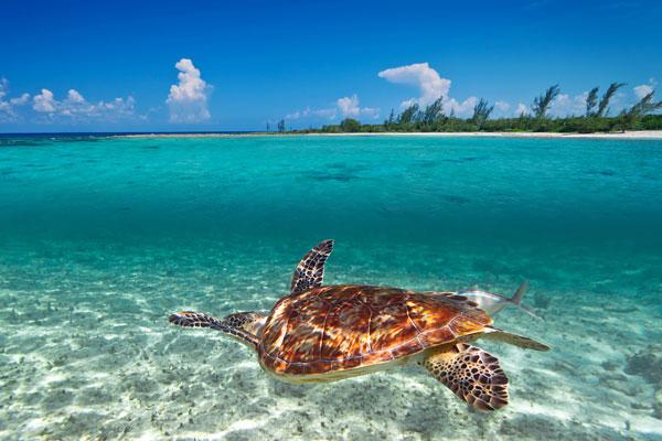 Green-turtle-Caribbean-Sea-web
