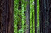 Struthers_Redwoods