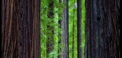 Redwoods: the Icon of Action