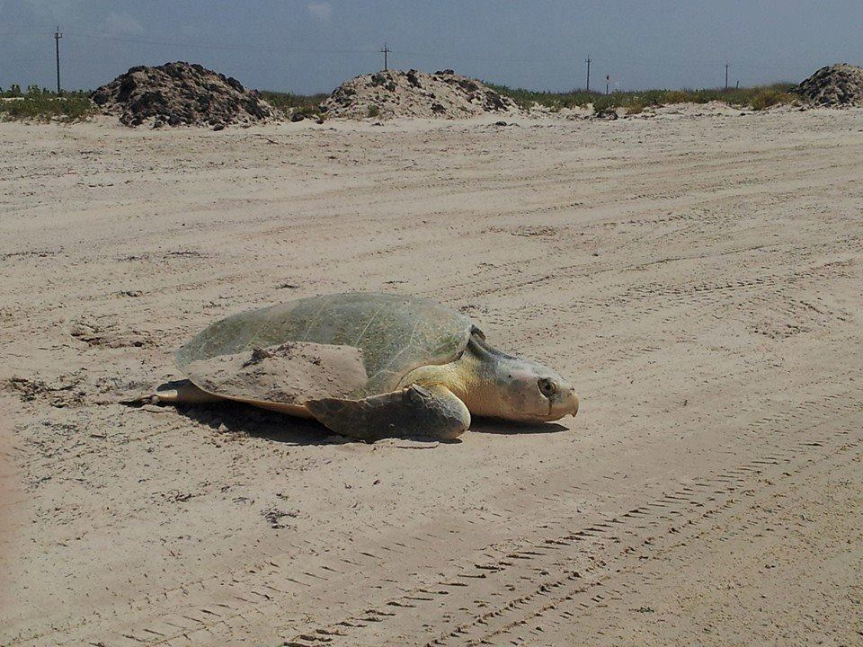 Dead Kemp's Ridleys Washing Up on Texas Beaches
