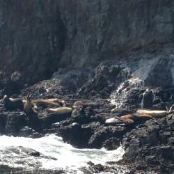 Pinnipeds Resting