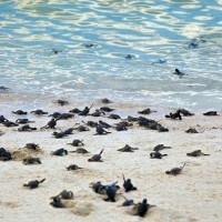seaturtle-hatchlings