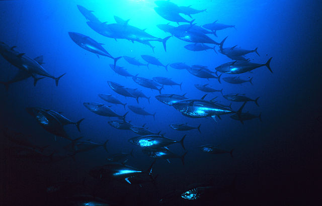 Endangered Species Act Protection Sought for Pacific Bluefin Tuna