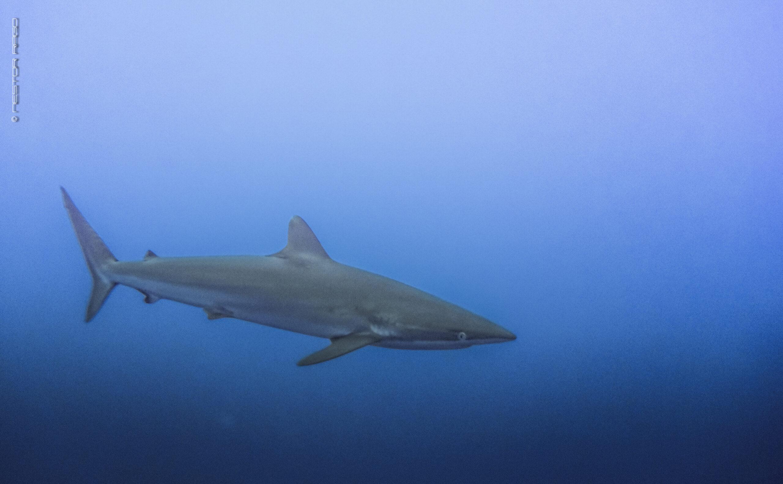 Conservacionistas Piden Protección del Tiburón Sedoso