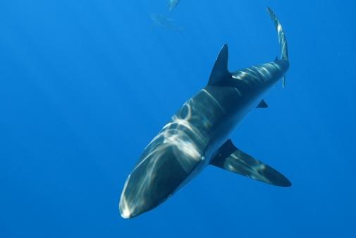 Speak Up for Silky Sharks