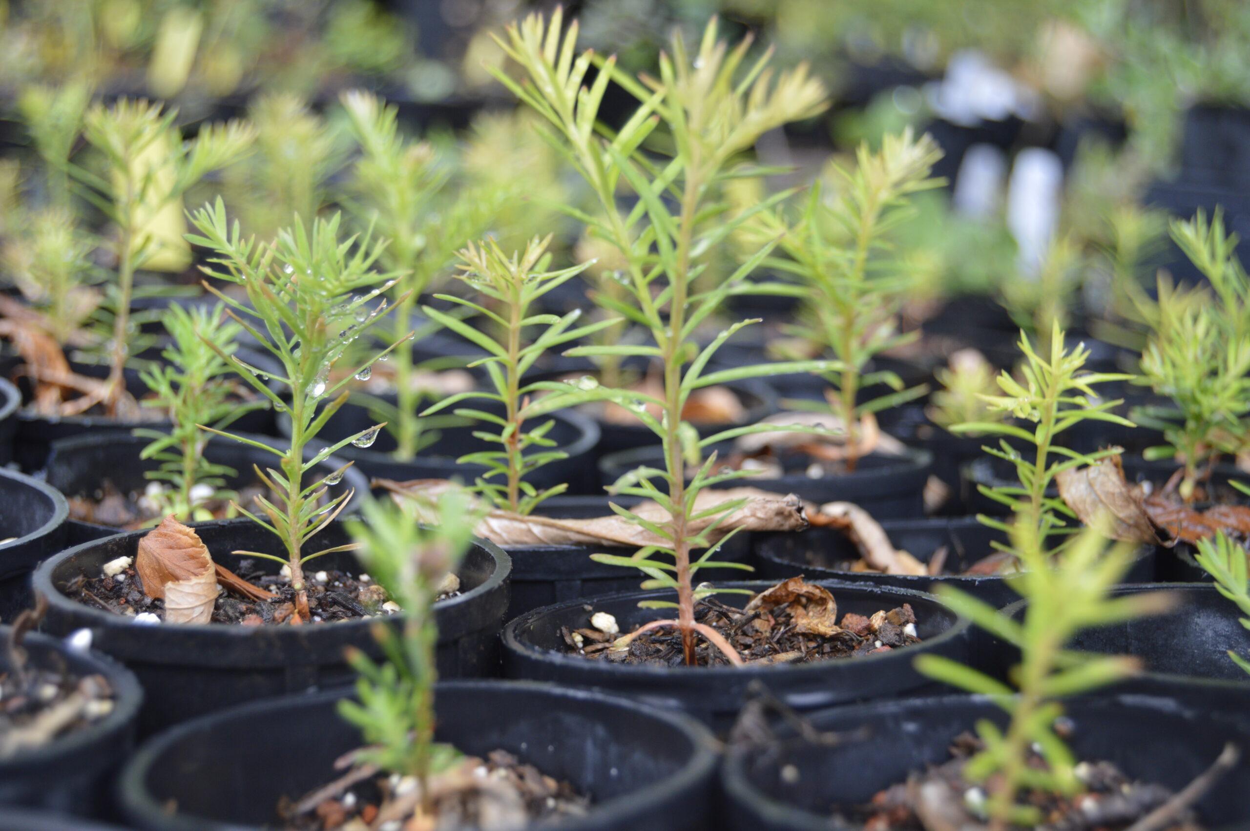 How Fast Do Coast Redwoods Grow?