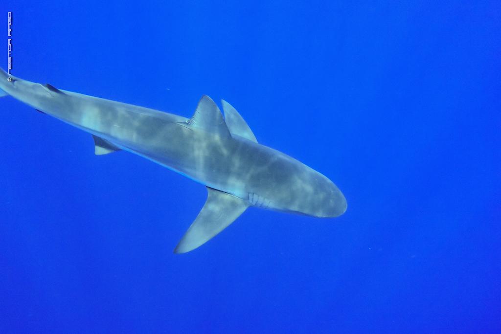 Los conservacionistas piden a El Salvador apoyo para mayor protección de los tiburones sedosos en la próxima Reunión Internacional