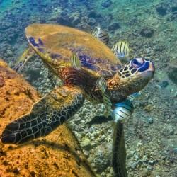 honu-turtle