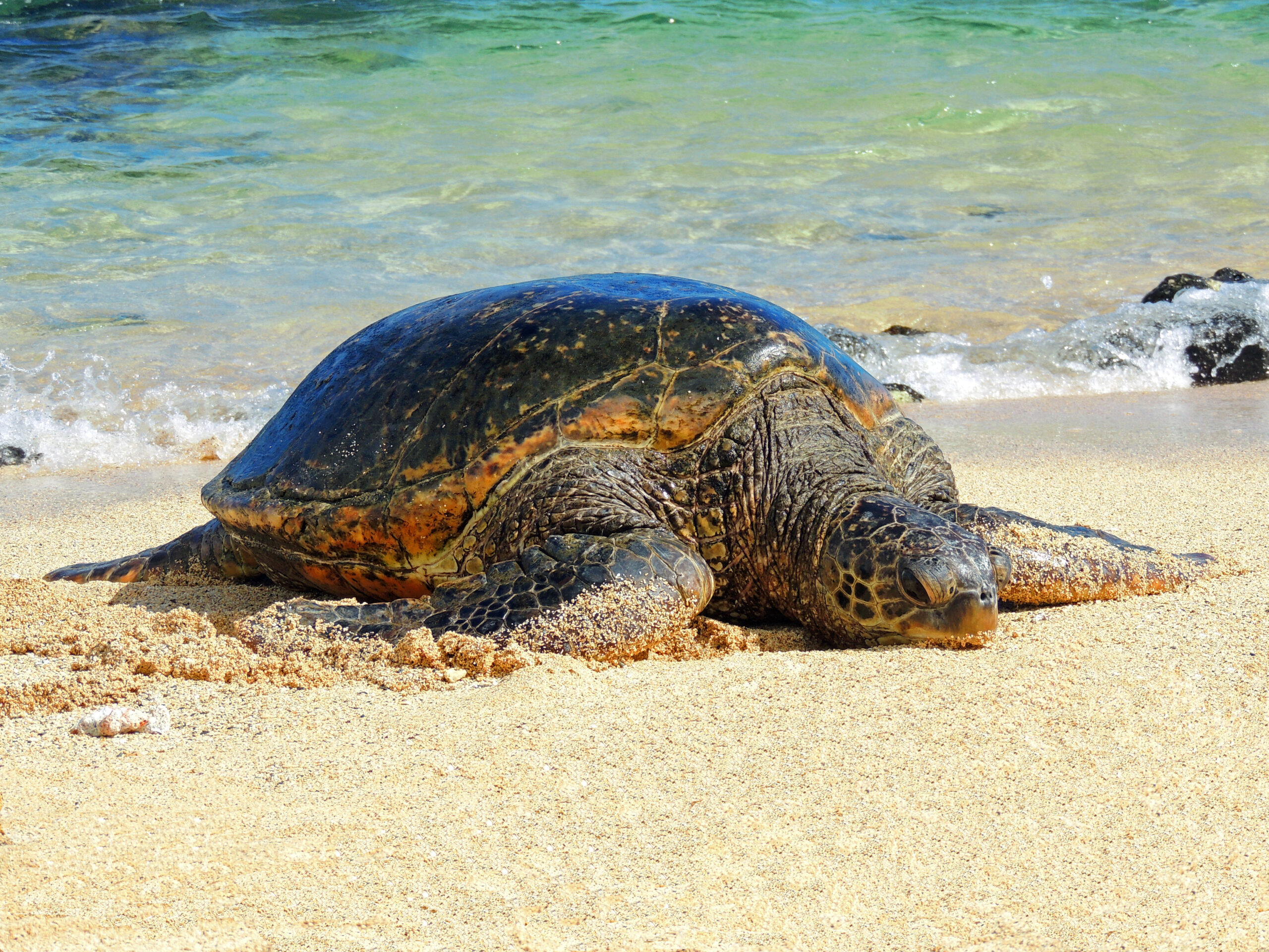 Conservationists Raise Alarm Over Hawaiian Green Sea Turtle Nesting Numbers