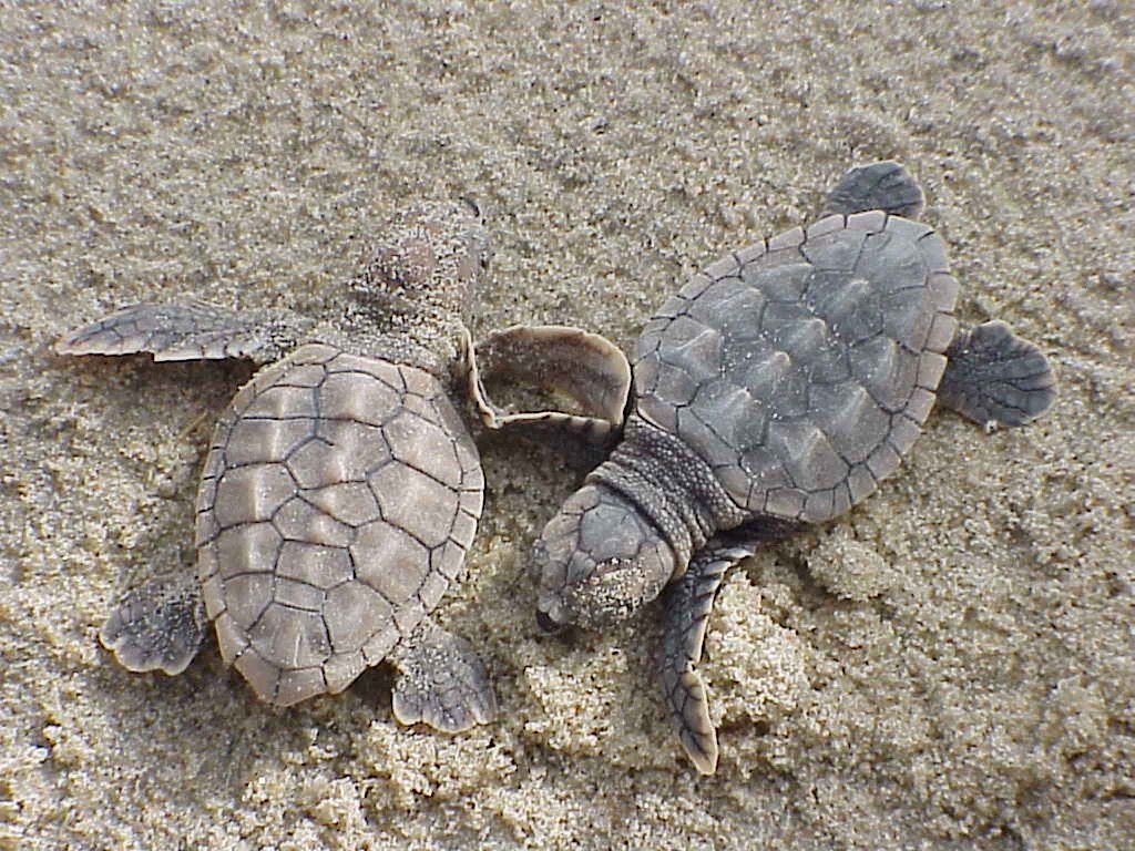 1024px-loggerhead_sea_turtle_hatchlings_caretta_caretta