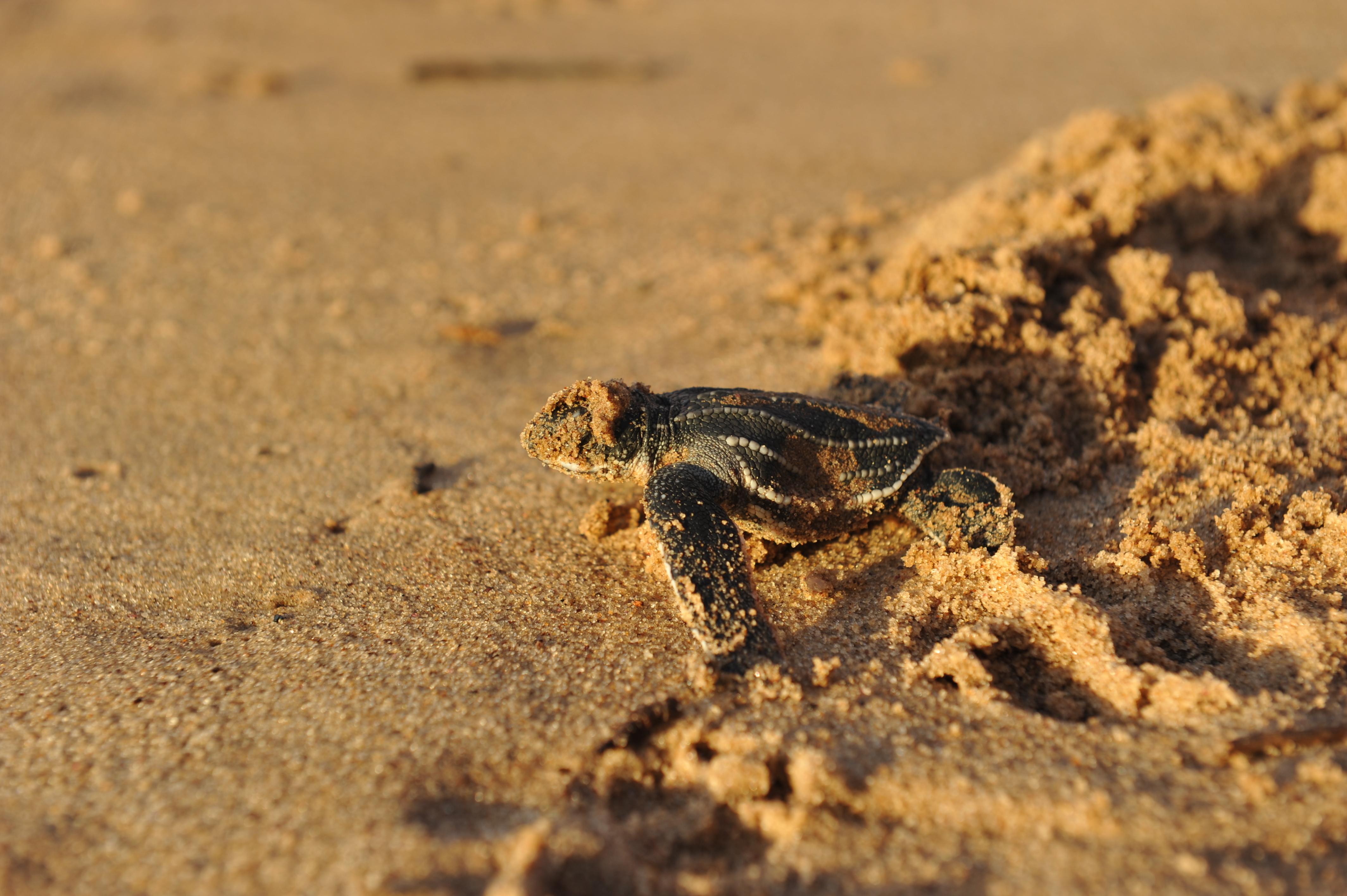 leatherback-hatchling-sand