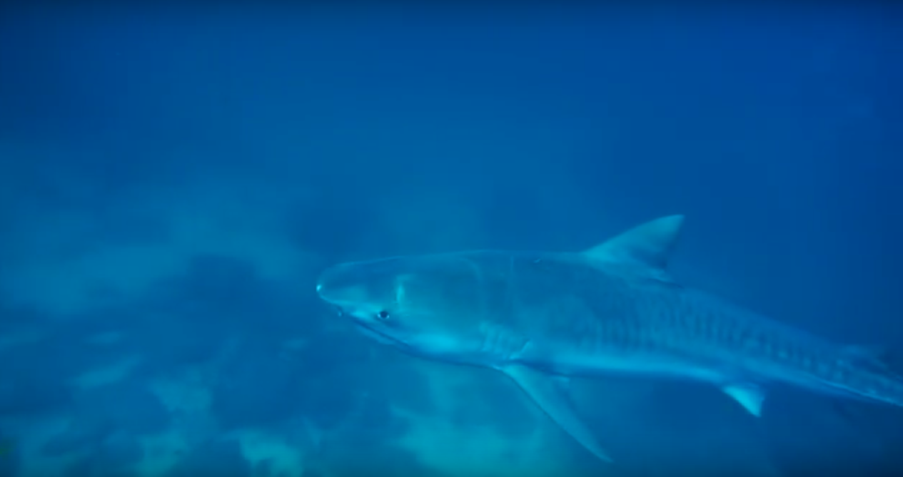 Scuba Diving with a Tiger Shark at Cocos Island, Costa Rica