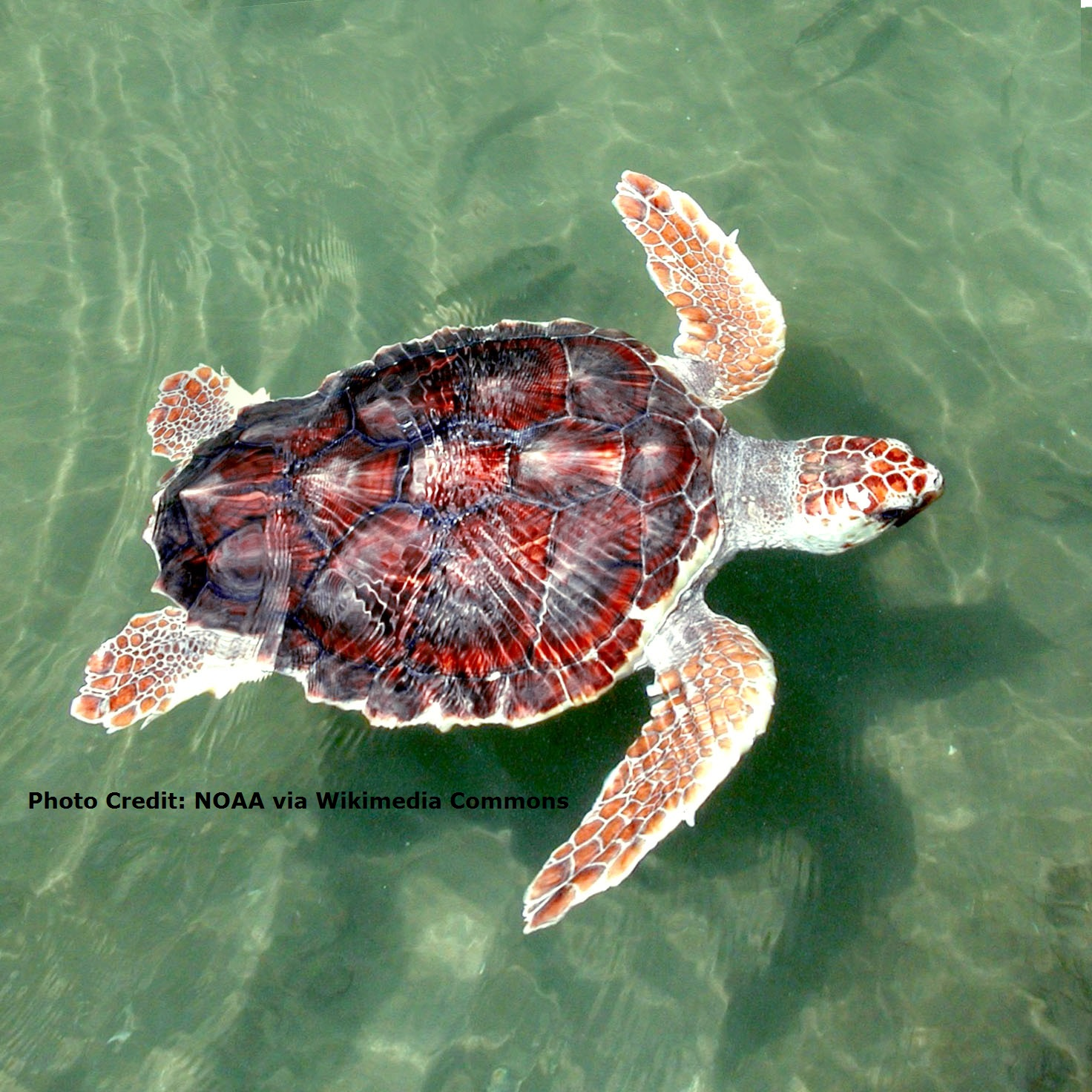 FACT SHEET: Loggerhead Sea Turtles