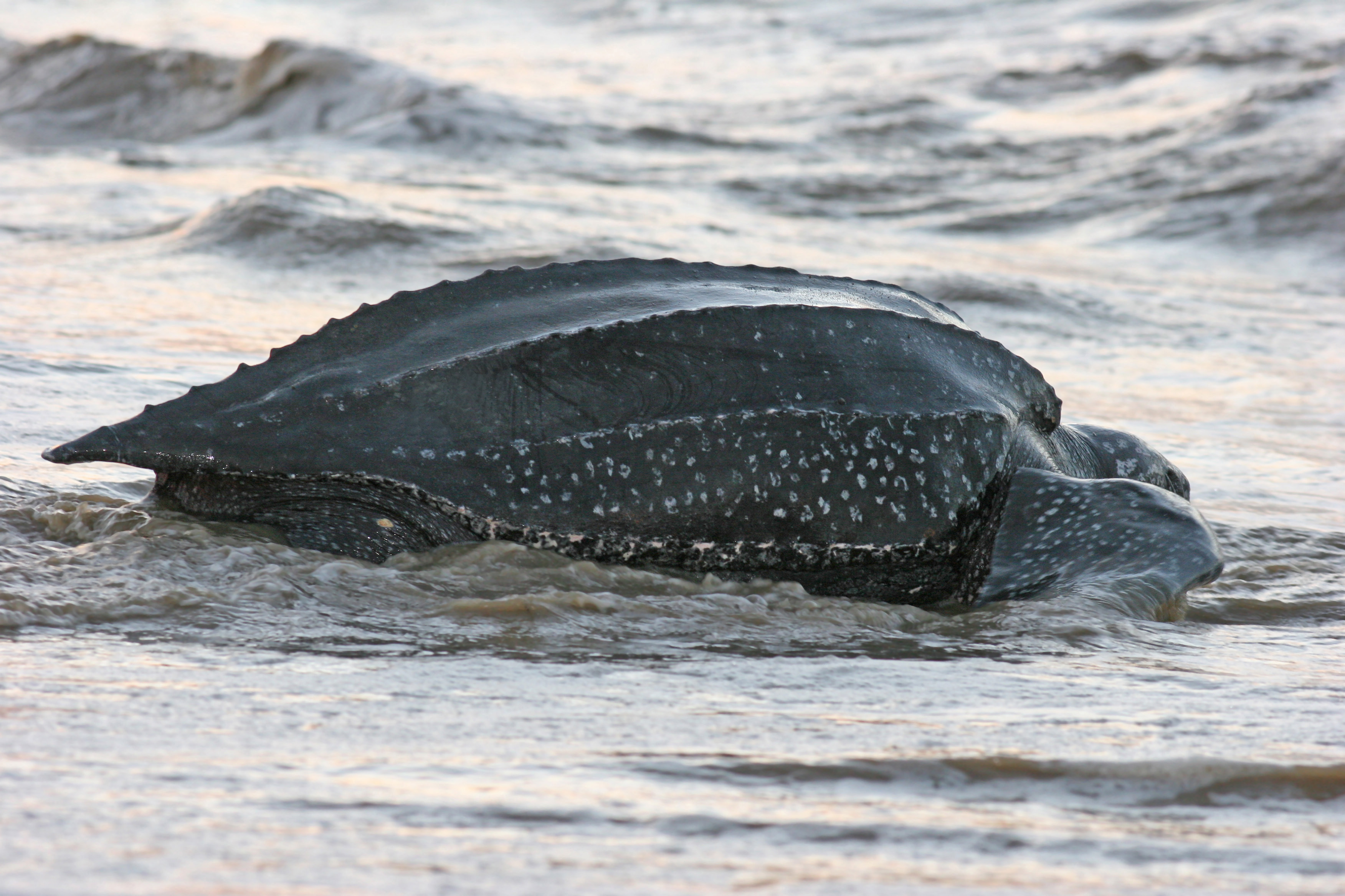pacific leatherback sea turtle day is almost here turtle island